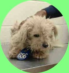ADOPTED --- OPCA Shelter Network Alliance · ~ Animal ID #A423561 *** 8 Month Old PUPPY ALERT!!! *** ‒ I am a Female, White Miniature Poodle. The shelter thinks I am about 8 months old. I have been at the shelter since January 27, 2015. Harris County Public Health and Environmental Services Telephone ‒ (281) 999-3191 612 Canino Road Houston, TX https://www.facebook.com/OPCA.Shelter.Network.Alliance/photos/pb.481296865284684.-2207520000.1422657755./768602576554110/?type=3&theater