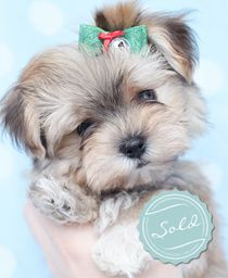morkie puppies sale paterson jersey roger