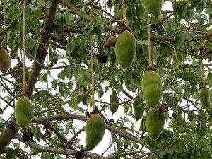 Care este fructul perfect? Un fruct atat de nutritiv, asa plin de bunatate, cu care oamenii au fost hraniti si recompensati de secole? Un fruct atat de bine conceput de Mama Natura, care nu necesita aproape nici o prelucrare, pastrand sinergia si potenta maxima de nutrienti?