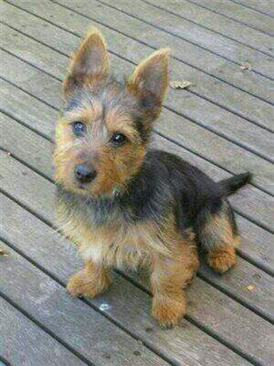Australian Terrier My Boy Marsbar Had These Colours But He Was Short