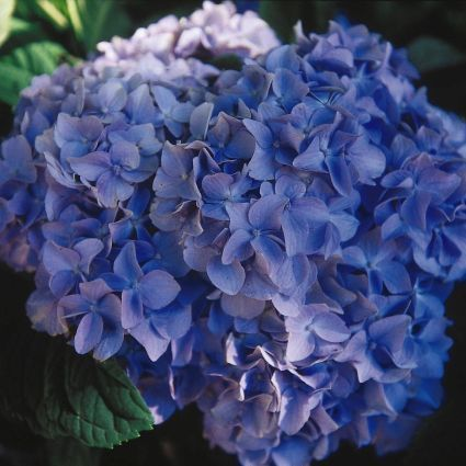 True blue is a challenging color to find in a low maintenance plant, much less one that comes back year after year. But along comes the Nikko Blue #Hydrangea. This #shrub is THE standard for blue #flowers in your shade #garden. Your seasonal show begins w
