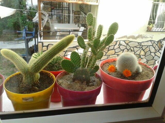 Kaktuslerim