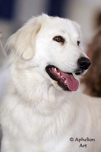 Akbash Dog / Turkish Shepherd / Akbaş Çoban Köpeği / Akbas Coban Kopegi