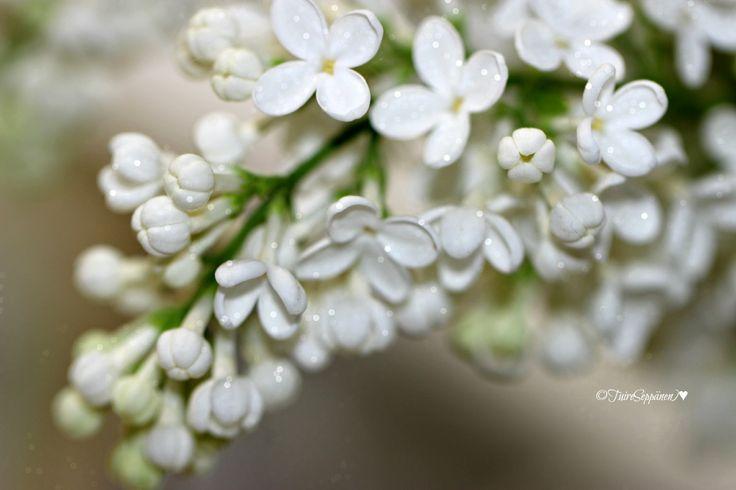 Syreeni, lilac flower