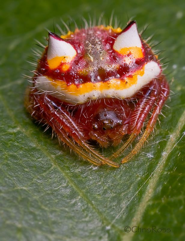 Two Horned Spider Poecilopachys australasia