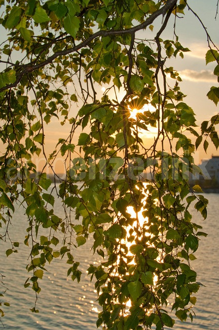 Sunset through the leaves of a birch  © Arno Enzerink / www.stockphotography.nu All rights reserved.
