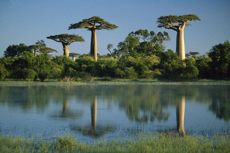 Baobab Trees Reflected in Wetlands Morondava Madagascar
