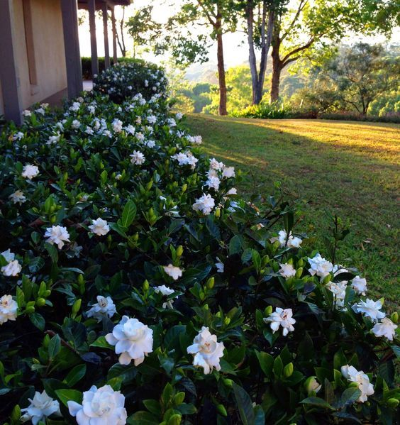 gardenia bush/hedge. This might be a nice replacement for those rosebushes under the windows next to the house...: