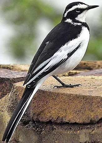 African Pied Wagtail, Pretoria, South Africa