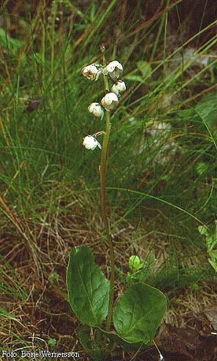 Klockpyrola är ganska ovanlig men förekommer i nästan hela landet. Den växer gärna i mossig, fuktig skogsmark, i vitmossa och kärrkanter.