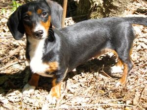 .Rosie is an adoptable Dachshund Dog in Effingham, ILLINOIS. Rosie is an adorable little two year old Black Tuxedo Piebald. She is very friendly, loves children and gets along well with other dogs. Rosie has...
