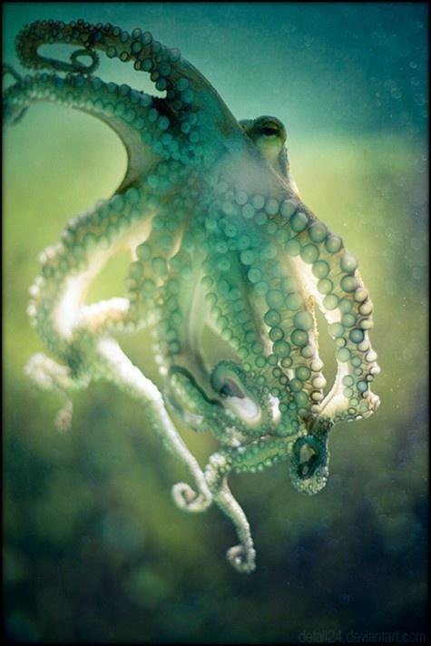 Octopus.: Octopuses Enchanted, Underwater Grace, Sea Creatures, Life, Color, Beautiful, Tentacle, Ocean, Animal