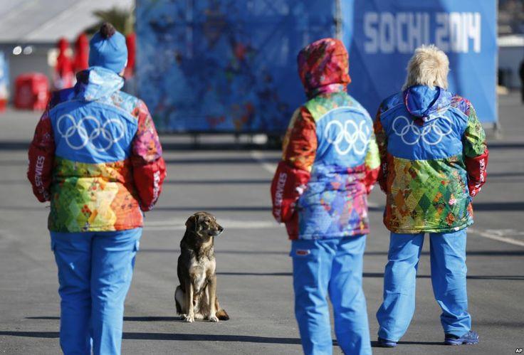Seekor anjing liar dengan para sukarelawan Olimpiade Sochi (6/2).