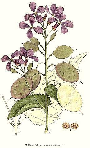 Image result for lunaria annua scheda botanica