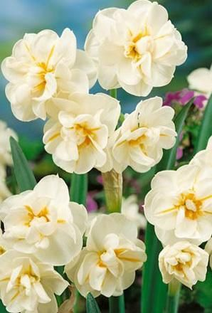Narcissus Sir Winston Churchill is a tall, sweetly scented multi-headed daffodil flowering in April.