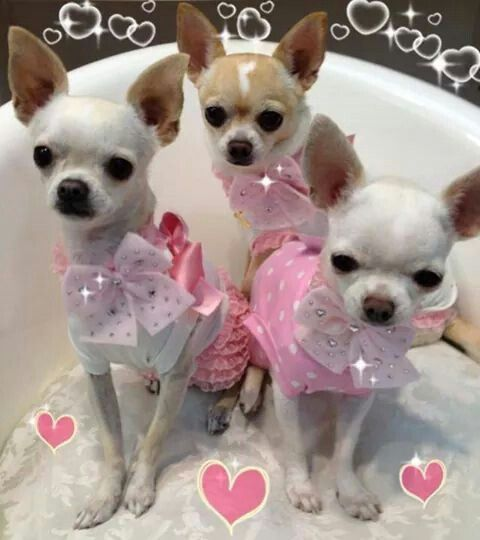 Cute photos of Chihuahua dogs in their outfit