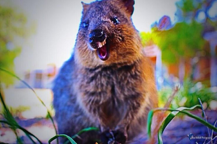Goofy smiles on #Rottnest - he must know it's nearly Australia Day! #rottnestisland #Rotto #lovemyrotto #quokka