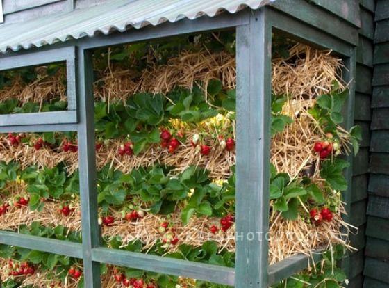 Strawberries Growing Vertically