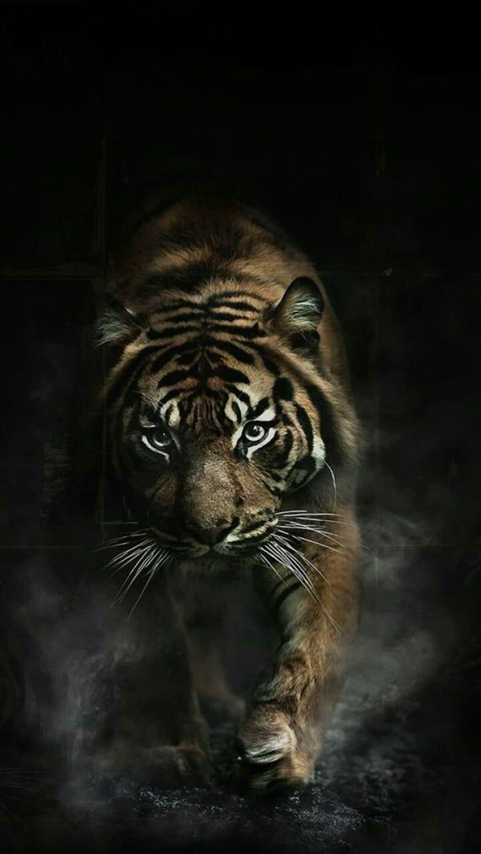 I Love This Animal And Is A Good Wallpaper Wild Animal Wallpaper Tiger Wallpaper Tiger Photography
