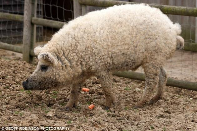 This ultra-rare breed of swine is known as the Mangalitza Sheep-Pig. Mangalitza pigs are much hardier than normal pigs and moult in the summer to prevent them getting too hot