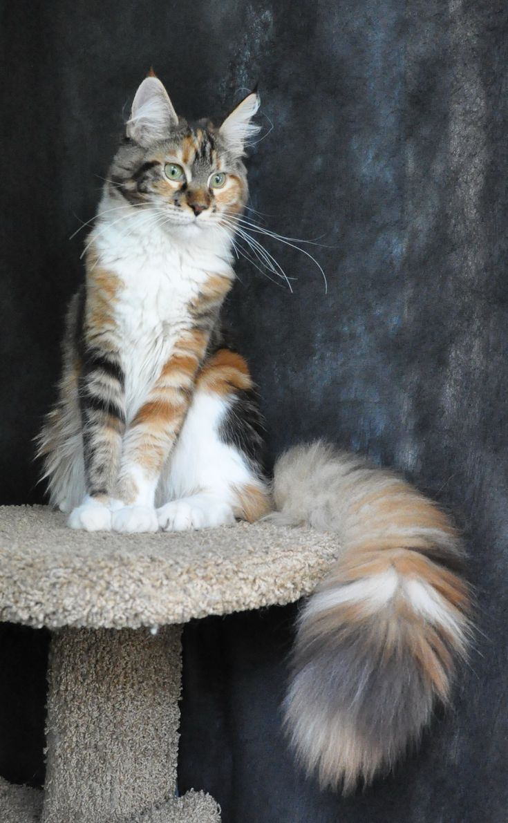 EVA LUCKY STARS - MAINE COON -Tortie marble on white (calico) Look at those awesome colors and look at that TAIL!