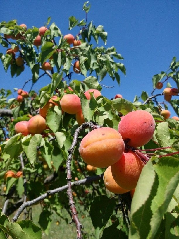 """A Hungarian type of apricot """"kajszi"""" that is ideal for making jams."""