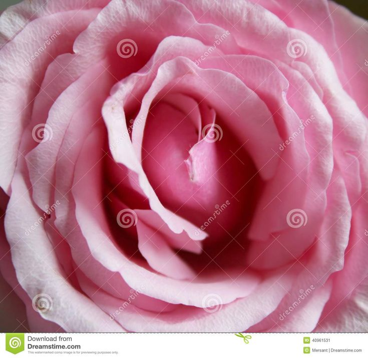 A close-up photo about a pink rose