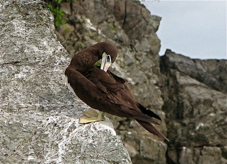 Brown Booby (Sula leucogaster) on rock island near northern end of Corcovado National Park, Costa Rica.  Spanish name is Piquero Pardo.