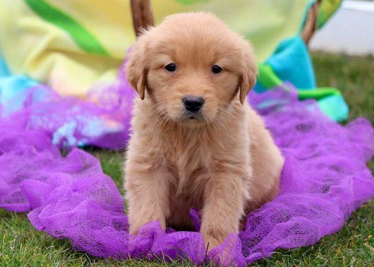 Golden Retriever Puppies Spokane For Sale References