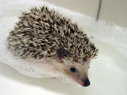 i totallyyy want one!: Porcupine, Pet, Baby Hedgehogs, Hedgehogs Bath, Hedgehogs Lady, Hedgehogs Swim, Crazy Hedgehogs, Adorable Animal, Bath Time
