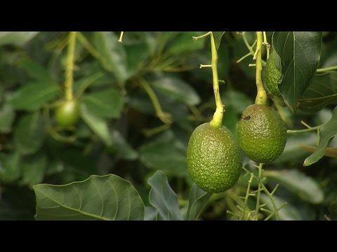 (862) Proceso de cultivo y Cosecha del Aguacate - TvAgro por Juan Gonzalo Angel - YouTube