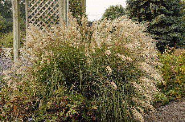 Декоративные травы: