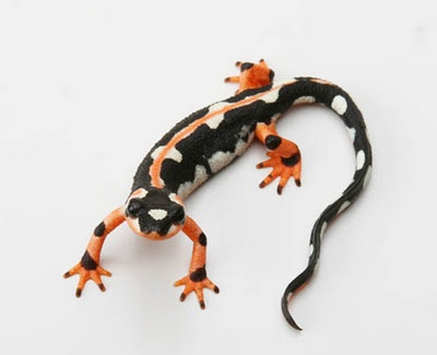 Luristan Newt aka Emperor Spotted Newt