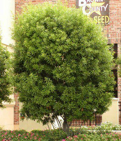 6 Fast Growing Shade Trees Yard Fast Growing Shade