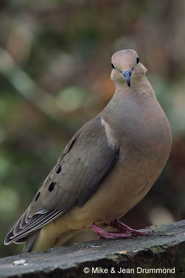 Gallery Of North Texas Birds | Mourning Dove (Seen in The Woodlands, TX)