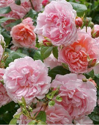 02/2016 Strawberry Hill rosier David Austin, parfum puissant, floraison remontante, très sain. 1,25 x 1m