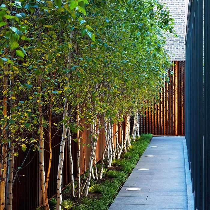 Use a row of white bark birch trees along a fence line to give additional privacy.