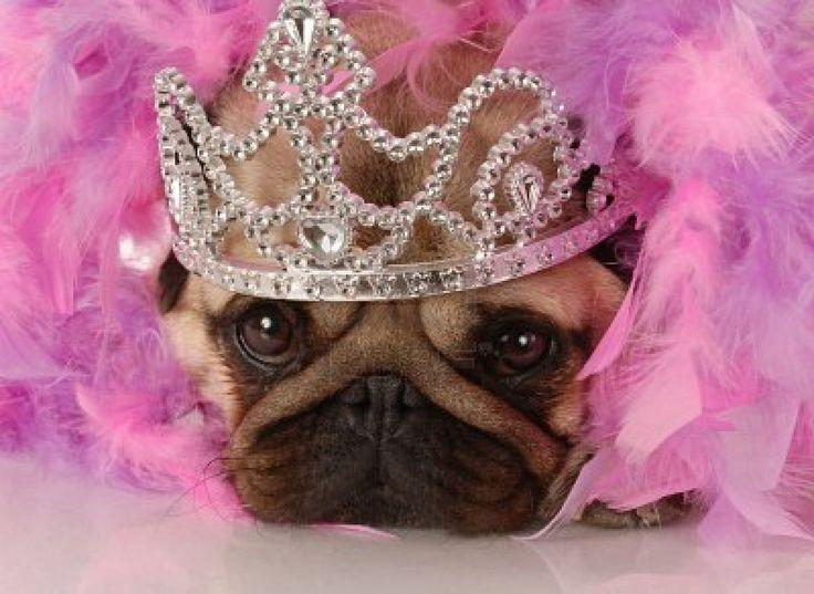 """Spoiled dog - adorable pug dressed up as a princess""  Nice !"