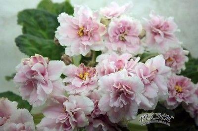 ☘ RS-KUZINA ☘ COUSIN ☘ African Violet Plant Saintpaulia ☘ Starter Plug Ukrainian