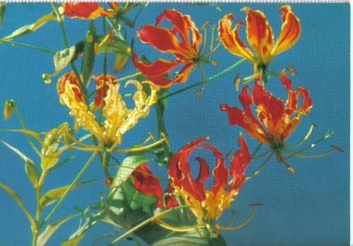 Flame lillies - sent to Lithuania.