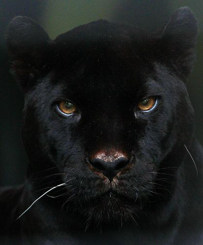 Inaya, the black jaguar is for me the grand old lady of the artis zoo, she is now 19 years old. She is real beaty