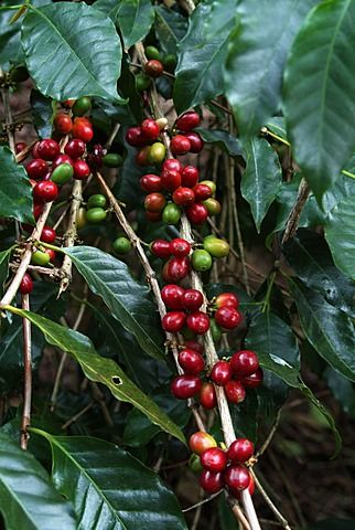 Granos de café Blue Mountain, Lime Tree Plantation Café, Blue Mountains, Jamaica, Antillas, Caribe, América Central