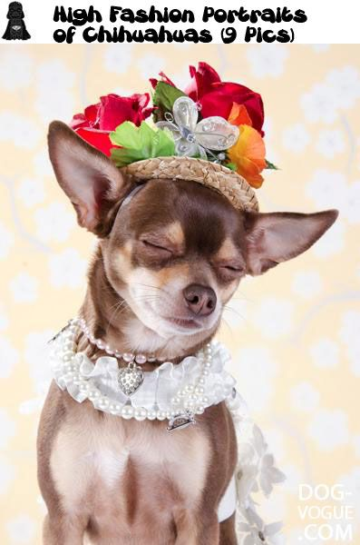 high chihuahua 17 best images about phteven and other awesome dogs 6518