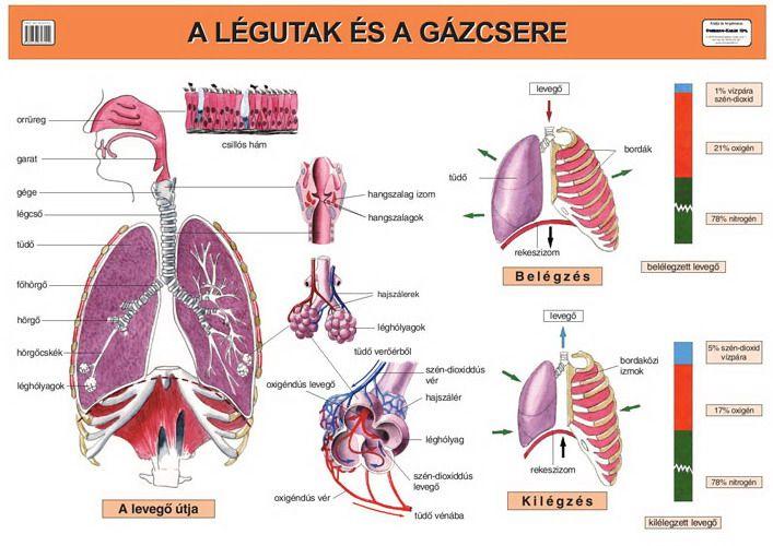 A légutak és a gázcsere Taneszköz.hu | Oktatás, Biológia