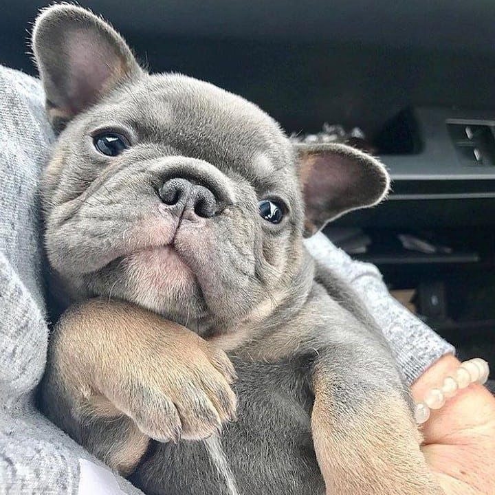 Pin By Robin Taylor Dotter On French Bulldog Puppies French