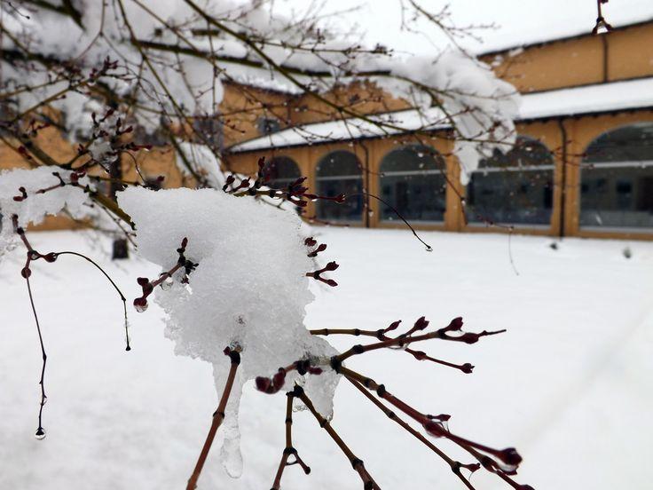 Acero sotto la neve
