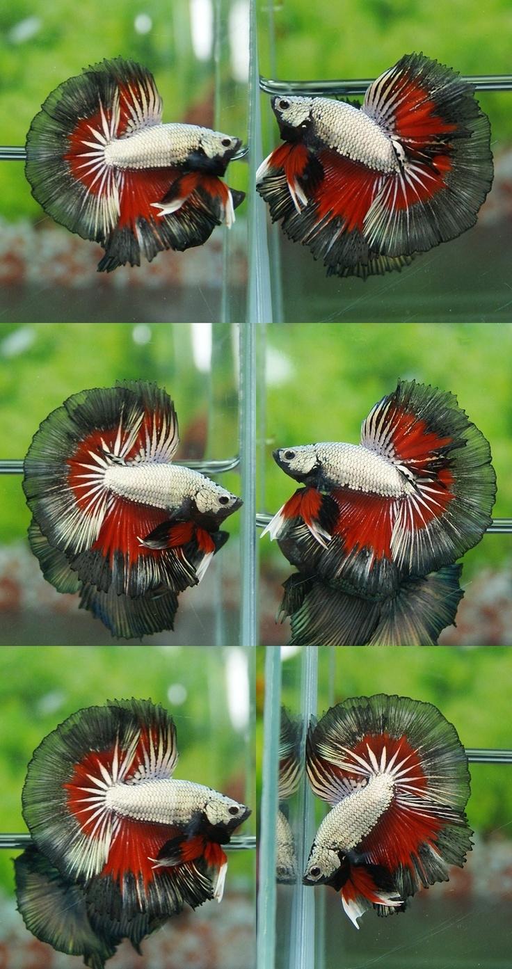 235 best Beautiful Betta Fish images on Pinterest | Betta, Fish ...