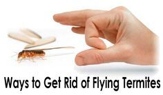 How to Get Rid of Flying Termites (Winged Termites)?
