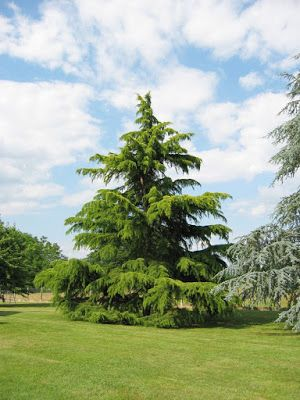 Trees Planet: Cedrus deodara – Deodar Cedar
