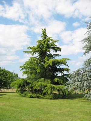 Trees Planet: Cedrus deodara – Himalayan Cedar, Deodar